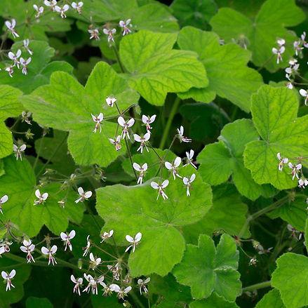 Geranium (Nutmeg-scented)