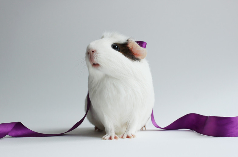 guinea-pig-4k-download-hd-wallpaper-e6a6.jpg