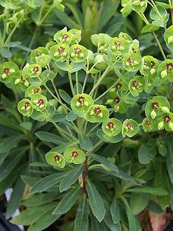 Euphorbia (Tiny Tim)