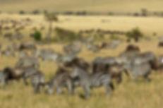 Zebras and Wildebeests