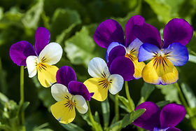 Wild Pansy (Purple & Yellow)