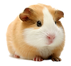 guineapig_edited.png