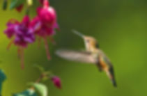 Hummingbirds in Oldenburg