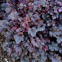 Coral Bells (Plum Pudding)