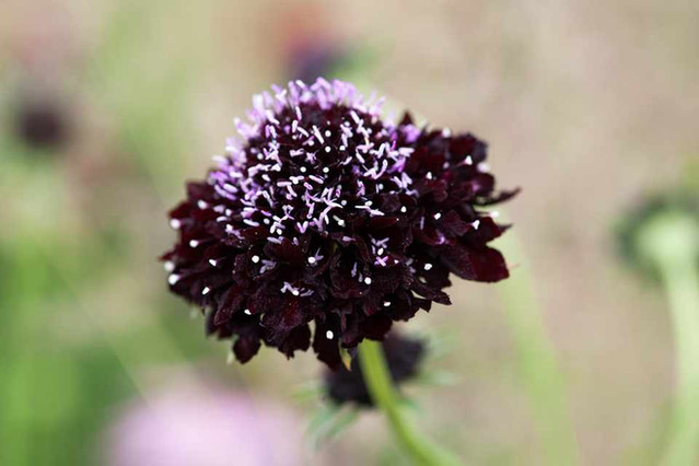 "Scabiosa ""Black Cat"""