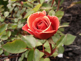Teddy Bear Miniature Rose