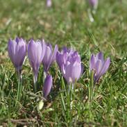 Crocus (Spring)