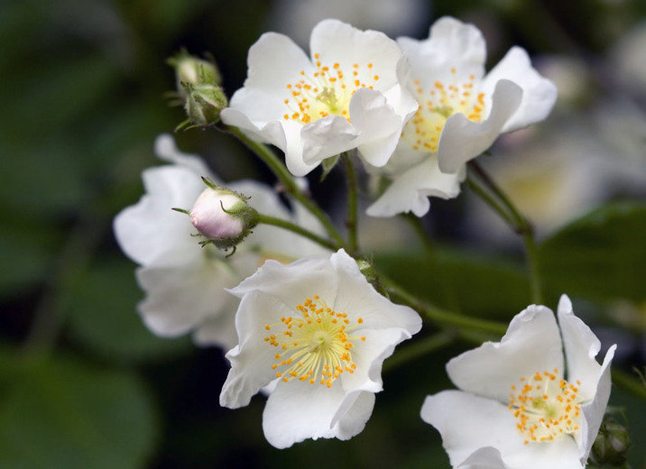 The Bonnie White Rose