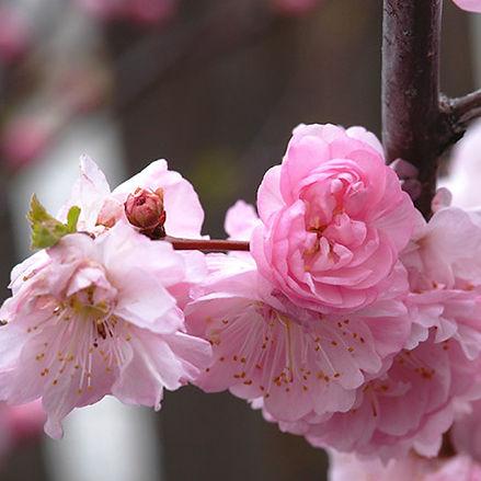Almond (Flowering)