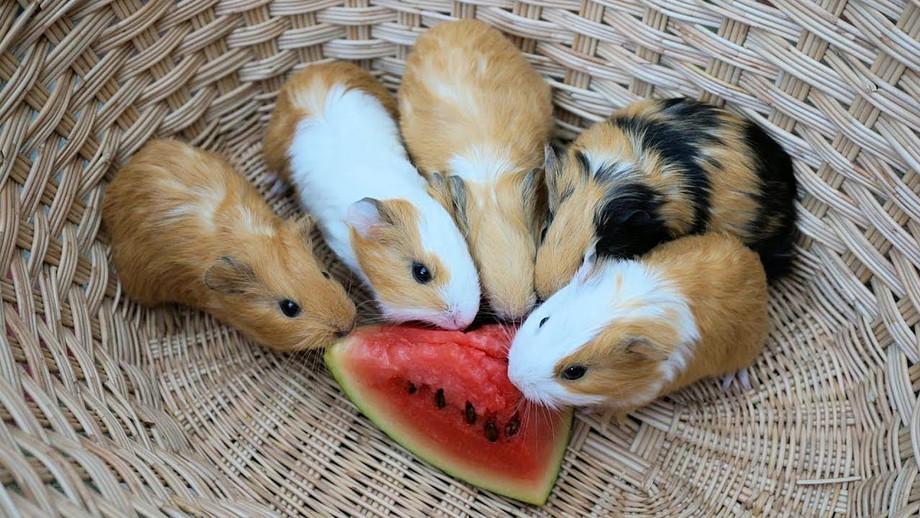 guineapigwatermelon.jpg