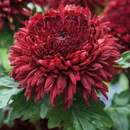Chrysanthemum (red)