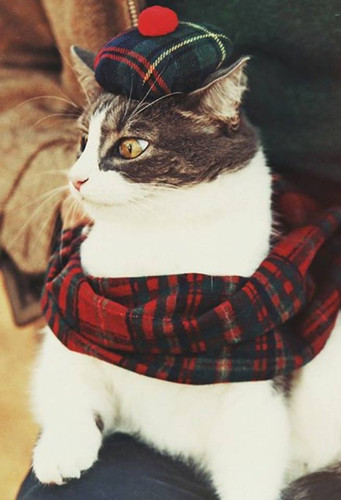 Caledonian Cat About Town