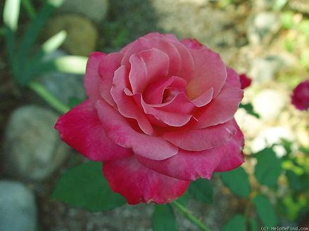 Rose (Mother's Rose)
