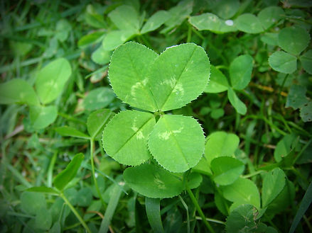 Clover (Four Leaved)