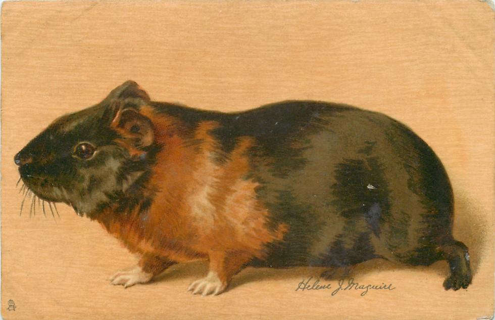 Brown & Black Guinea Pig Facing Left by Helene J. Maguire