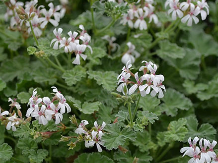 Geranium (Apple-scented)