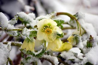 hellebore-in-snow.jpg