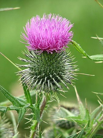 Common Thistle