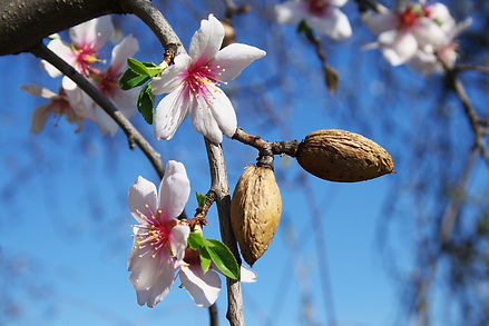 Almond (Common)