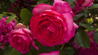 Rose 'Margaret Mae'