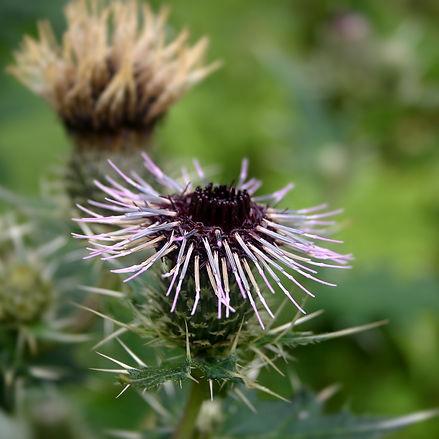 Thistle (Common)