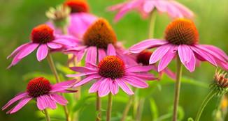 echinaceaflower.jpg