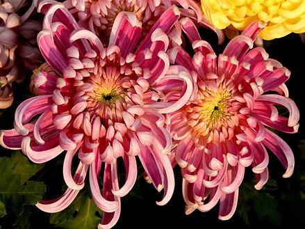 Chrysanthemum (Chinese)