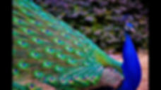 Peacocks in the Glen