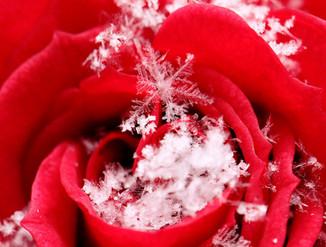 snowflakeonarose.jpg