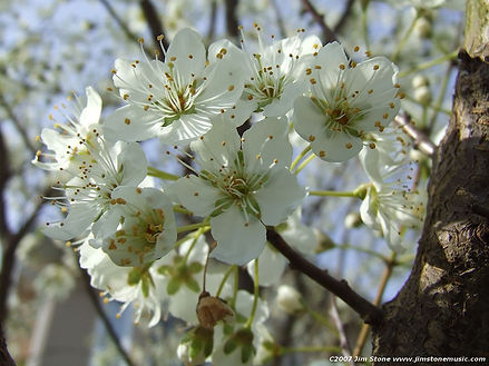 Cherry Tree (white)