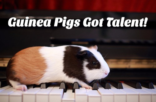 guineapigtalent_edited