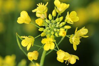 mustard-plants-poisoning.jpg