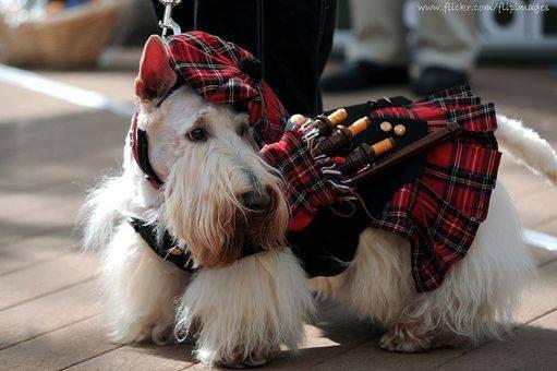 Scottish Scotties