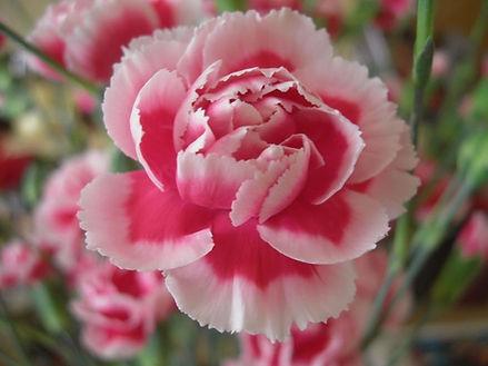 Carnation (pink)