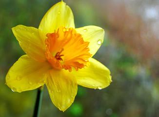 A Daffodil