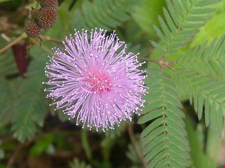 Sensitivity Plant