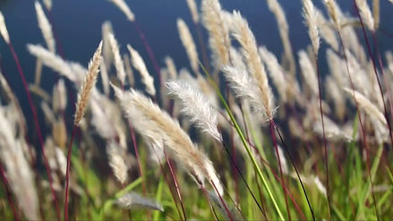 Reed (Common)