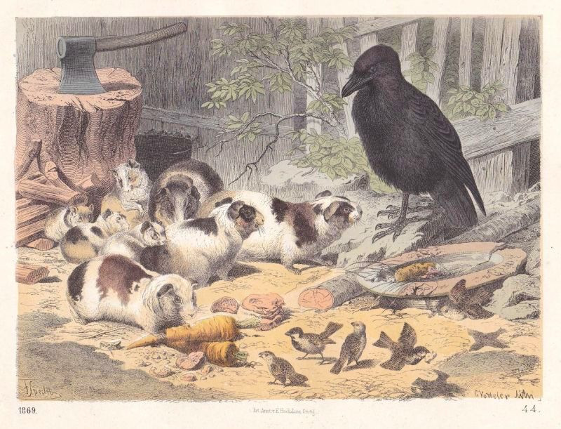 Guinea pigs and Crow