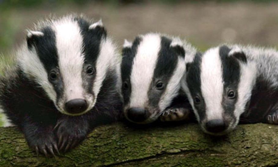 The Badgers' Sett