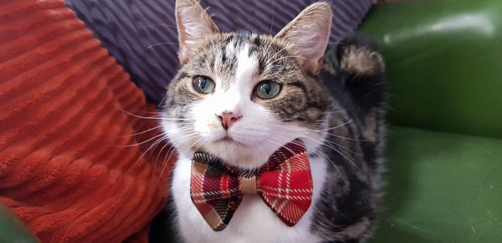Bow Tie Kitty Cat