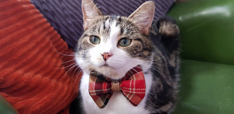 Bow Tie Kitty Cat