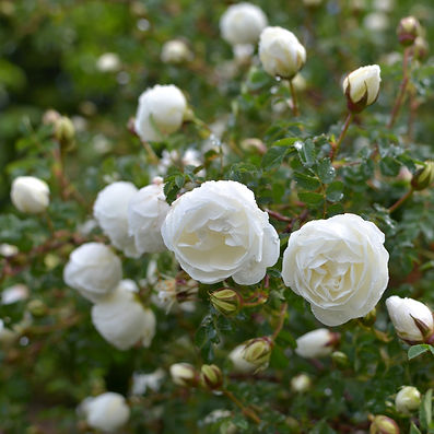 Scottish bouquet rose heather thistle buttonholes bouttonieres
