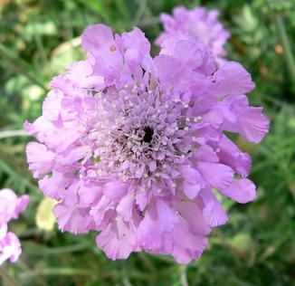 "Scabiosa columbaria ""Pink Mist"""