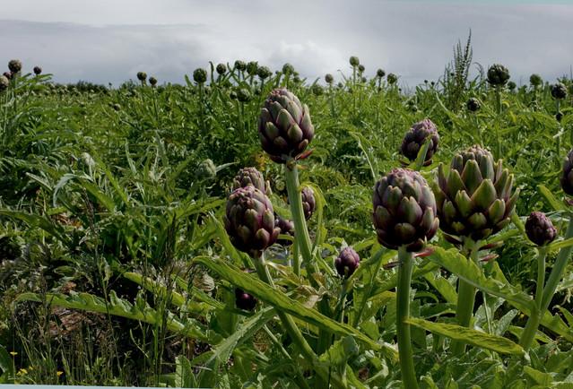 Globe Artichoke (Cynara cardunculus var. scolymus)