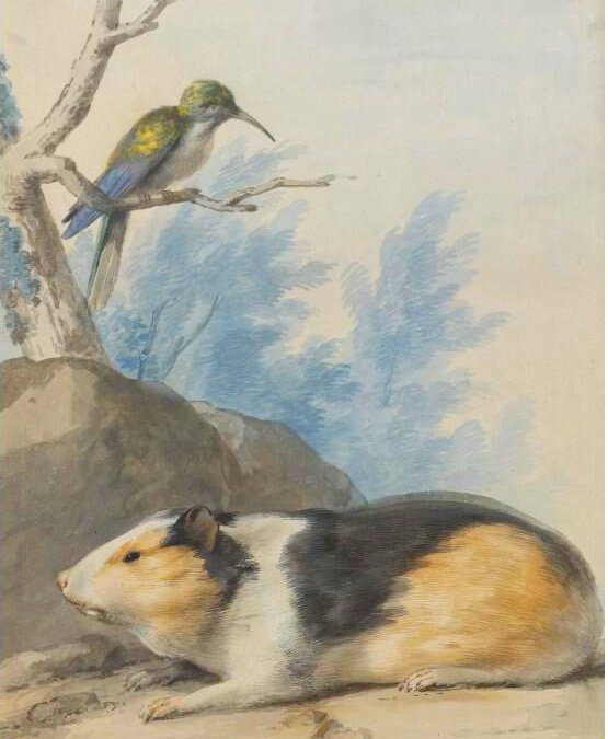 A Guinea Pig, with a Hummingbird on the Branch Above