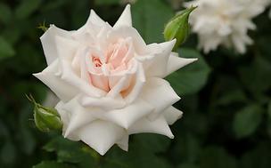 Beatrix Potter Rose
