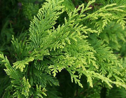Arbor Vitae