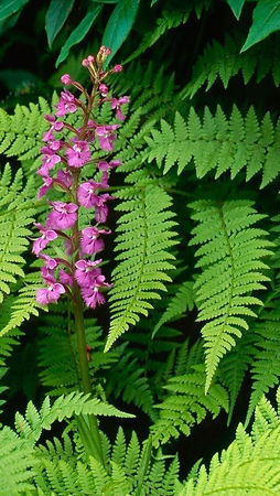 Fern (Flowering)