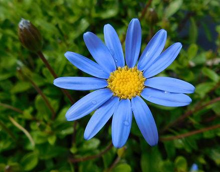 Daisy (Parti-coloured)