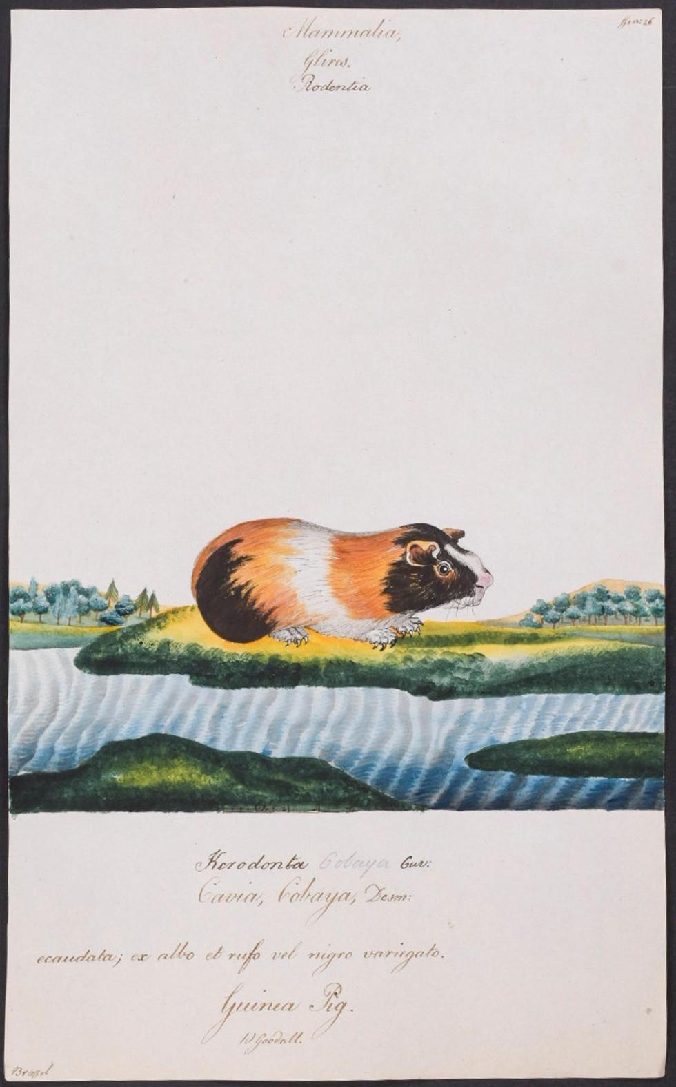 Guinea Pig (Cavia Cobaya)